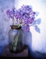 Hyacinthoides, Bluebell