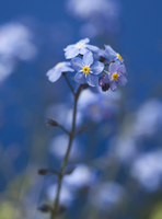 Forget me not, Myosotis alpestris, alpine