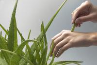Aloe vera 20025333712| 写真素材・ストックフォト・画像・イラスト素材|アマナイメージズ