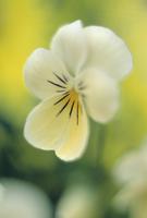 Viola wittrockiana Princess Series, Viola 20025333765| 写真素材・ストックフォト・画像・イラスト素材|アマナイメージズ