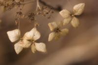 Hydrangea serrata, Hydrangea