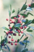 Ilex aquifolium, Holly 20025334460| 写真素材・ストックフォト・画像・イラスト素材|アマナイメージズ