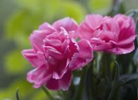 Dianthus, Carnation 20025334528| 写真素材・ストックフォト・画像・イラスト素材|アマナイメージズ