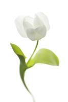 Tulipa, Tulip