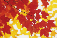 Acer rubrum, Maple, Red maple