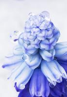 Muscari botryoides, Grape hyacinth
