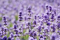 Lavender, Lavandula augustifolia