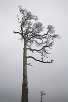 Fir, Picea, Pine, Spruce
