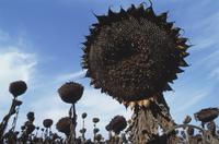 Sunflower, Helianthus annus
