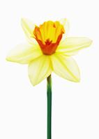 Narcissus Salome, Daffodil