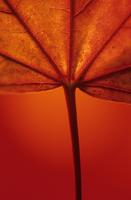 Sycamore, Acer pseudoplatanus