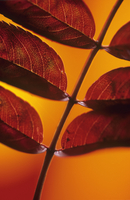 Leaf 20025335189| 写真素材・ストックフォト・画像・イラスト素材|アマナイメージズ