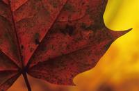 Leaf 20025335190| 写真素材・ストックフォト・画像・イラスト素材|アマナイメージズ