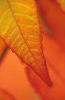 Sumach, Rhus typhina 20025335205| 写真素材・ストックフォト・画像・イラスト素材|アマナイメージズ