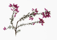 Heather, Calluna