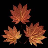 Japanese maple, Acer japonicum Vitifolium