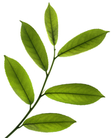 Prunus laurocerasus, Laurel