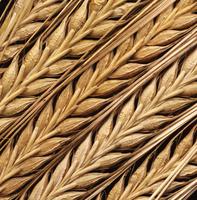 Hordeum, Barley