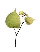 Birch, Betula