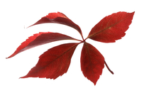 Virginia creeper, Parthenocissus henryana