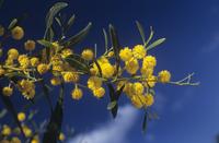 Acacia cyanophlla, Mimosa, Wattle