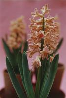 Hyacinthus Gipsy Queen, Hyacinth