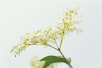 Sambucus nigra, Elder