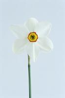 Narcissus actaea, Daffodil