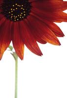 Sunflower, Helianthus annus Velvet Queen