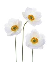 Anemone, Anemone x hybrida Honorine Jobert, Japanese anemone 20025335928| 写真素材・ストックフォト・画像・イラスト素材|アマナイメージズ