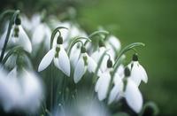 Snowdrop, Galanthus