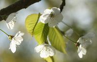 Cherry, Prunus avium, Wild Cherry