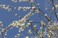 Sloe, Prunus spinosa