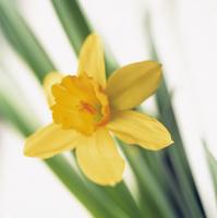 Narcissus Tete-a-Tete, Daffodil