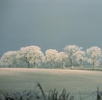 Quercus robur, Oak