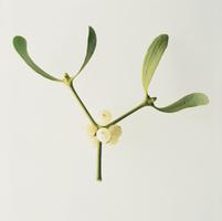Viscum album, Mistletoe