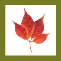 Virginia creeper, Parthenocissus quinquefolia 20025336511| 写真素材・ストックフォト・画像・イラスト素材|アマナイメージズ
