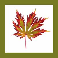 Japanese maple, Acer palmatum dissectum atropurpureum