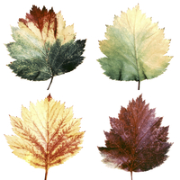 Maple, Acer