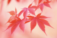 Japanese maple, Acer palmatum