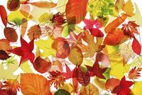 Leaf 20025337086| 写真素材・ストックフォト・画像・イラスト素材|アマナイメージズ