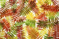 Sumach, Rhus typhina 20025337089| 写真素材・ストックフォト・画像・イラスト素材|アマナイメージズ