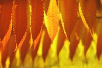 Sumach, Rhus typhina 20025337099| 写真素材・ストックフォト・画像・イラスト素材|アマナイメージズ