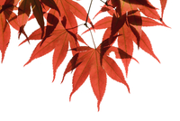 Japanese maple, Acer