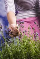 Lavender, Lavandula 20025337180| 写真素材・ストックフォト・画像・イラスト素材|アマナイメージズ