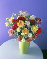 Dianthus, Carnation 20025337475| 写真素材・ストックフォト・画像・イラスト素材|アマナイメージズ