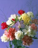 Dianthus, Carnation 20025337494| 写真素材・ストックフォト・画像・イラスト素材|アマナイメージズ