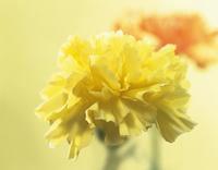 Dianthus, Carnation 20025337495| 写真素材・ストックフォト・画像・イラスト素材|アマナイメージズ