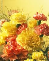 Dianthus, Carnation 20025337496| 写真素材・ストックフォト・画像・イラスト素材|アマナイメージズ