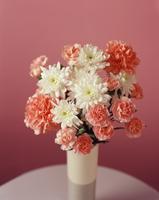 Dianthus, Carnation 20025337512| 写真素材・ストックフォト・画像・イラスト素材|アマナイメージズ